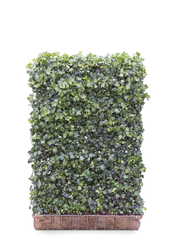 Kant en klaar haag Hedera helix Green Ripple 120x180cm.
