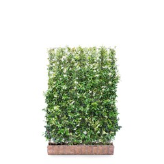 Kant en klaar haag Trachelospermum Jasminoides 120x180cm.