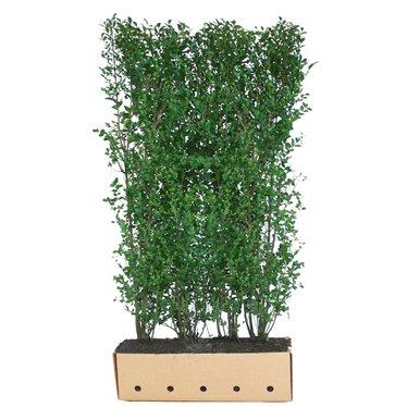 Kant en klaar haag Ligustrum ovalifolium 100x200cm.