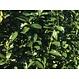 Kant en klaar haag Prunus laurocerasus Genolia 100x180-200cm.