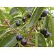 Kant en klaar haag Prunus lusitanica Angustifolia 100x180-200cm.