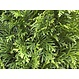 Kant en klaar haag Thuja occidentalis Smaragd 100x200cm.