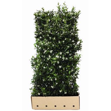 Kant en klaar haag Trachelospermum jasminoides 100x180cm.