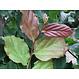 Kant en klaar haag Parrotia persica Vanessa 100x200cm.