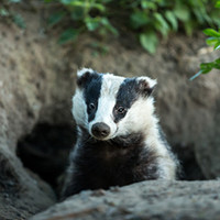 Electric Fencing for Badgers