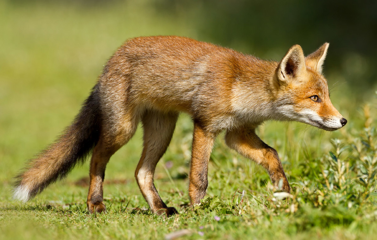 How to build a fence against foxes