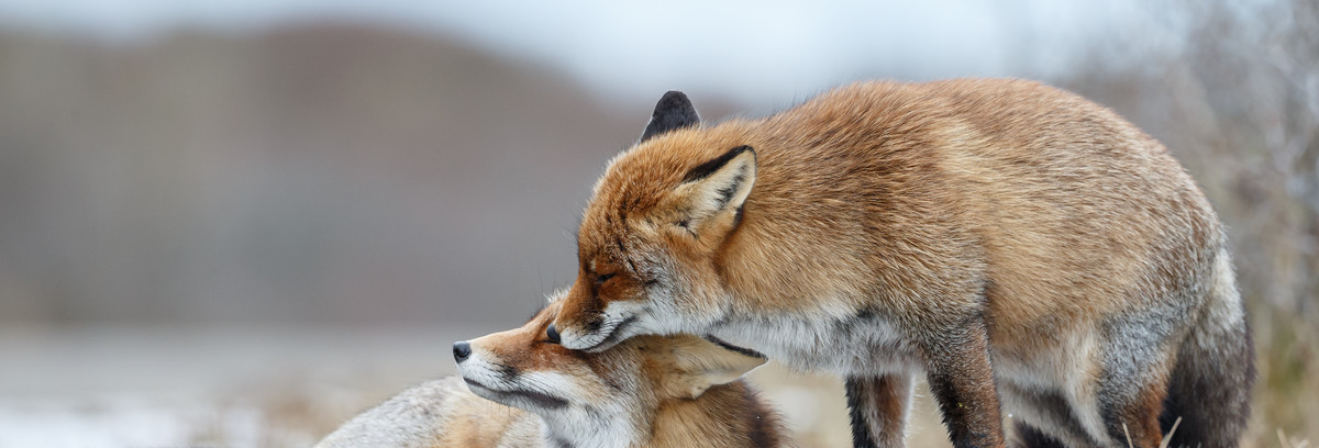 Mating Season for Foxes