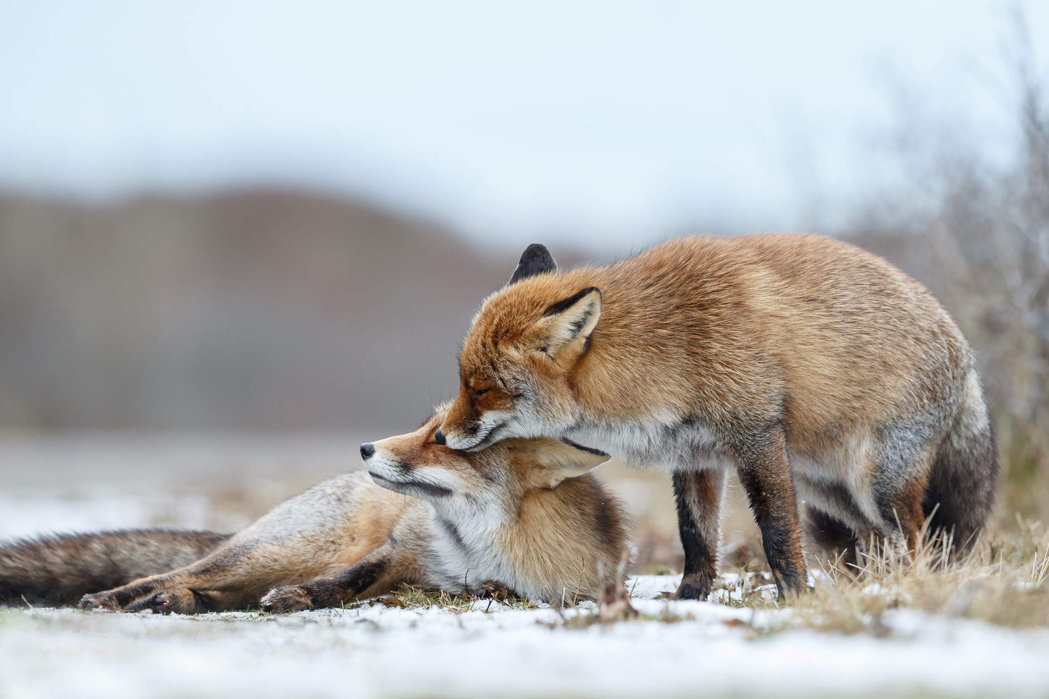 What do foxes eat and how to keep them away