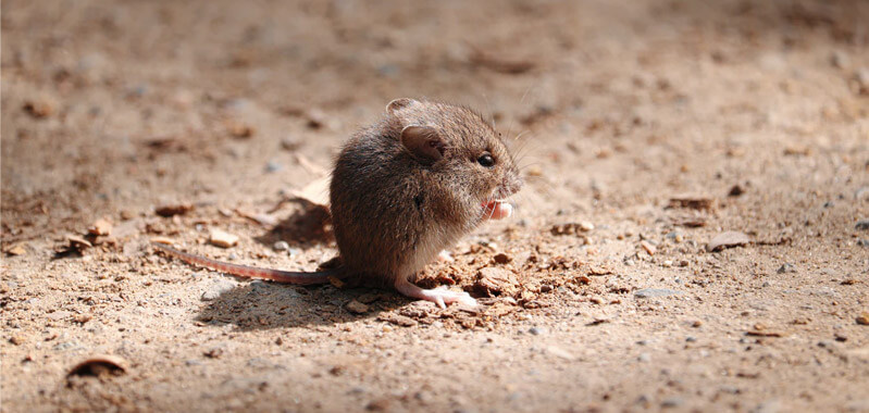 Humanly keep pests away - Getting rid of rats in your garden