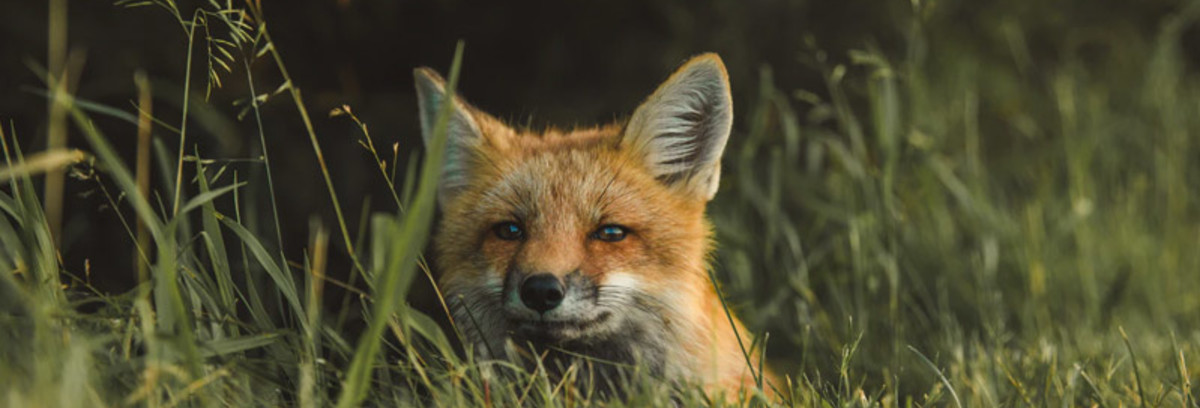 How To Deter Foxes From Your Property