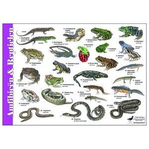 Tringa paintings natuurkaarten Tringa Herkenningskaarten Amfibieën en reptielen