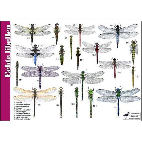 Tringa paintings natuurkaarten Natuur zoekkaarten echte libellen en juffers