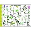 Tringa paintings natuurkaarten Tringa paintings Herkenningskaart Tuinplanten voor bijen