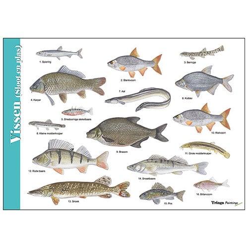 Tringa paintings natuurkaarten Herkenningskaart natuur Vissen sloot en plas