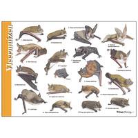 Herkenningskaart Vleermuizen