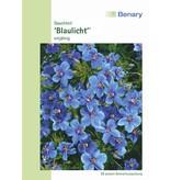 Benary Gauchheil Blaulicht®, einjährig