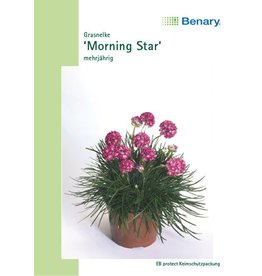 Benary Grasnelke Morning Star, mehrjährig