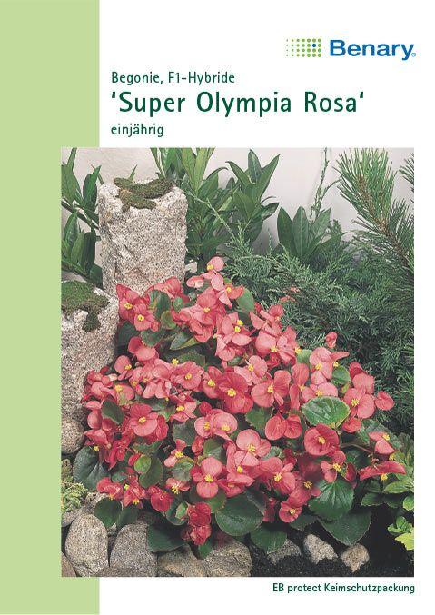 Benary Begonien Super Olympia® F1 Rosa, einjährig