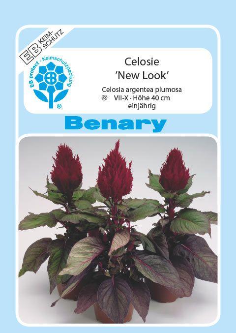 Benary Celosie New Look®, einjährig