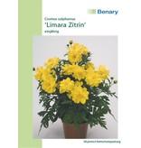 Benary Schmuckkörbchen  Limara Zitrin, einjährig