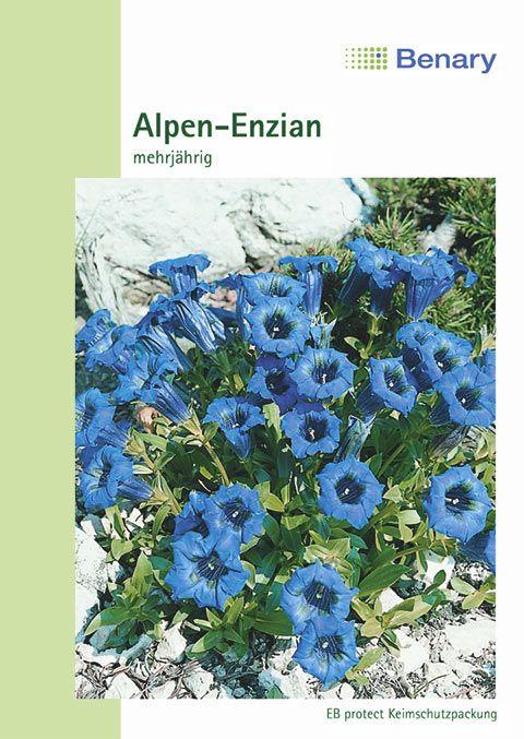 Benary Alpen-Enzian Mehrjährig