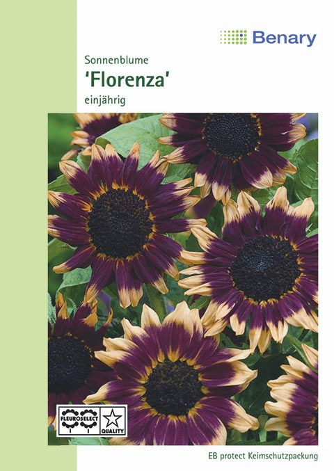 Benary Sonnenblume Florenza, einjährig