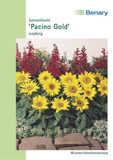 Benary Zwerg-Sonnenblume Pacino® Gold, einjährig