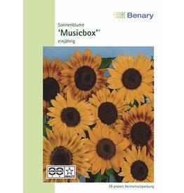 Benary Sonnenblume Musicbox®, einjährig