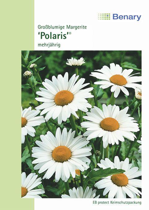 Benary Margerite Polaris®, mehrjährig