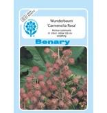 Benary Wunderbaum Carmencita® Rosa, einjährig