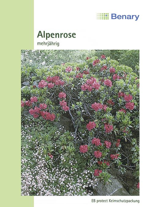 Benary Alpenrose, mehrjährig