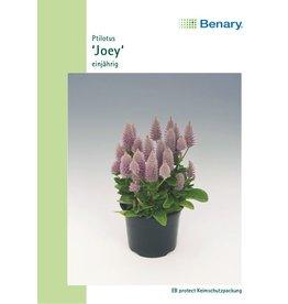 Benary Ptilotus Joey, einjährig