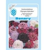 Benary Gartenscabiose Olympia®-Hybriden, einjährig