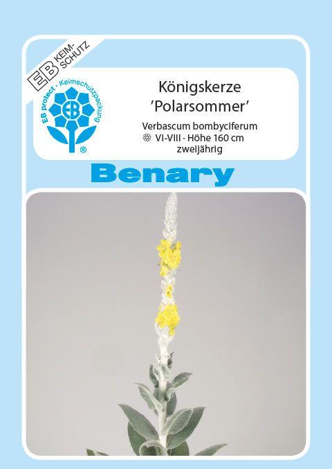 Benary Königskerze Polarsommer®, zweijährig