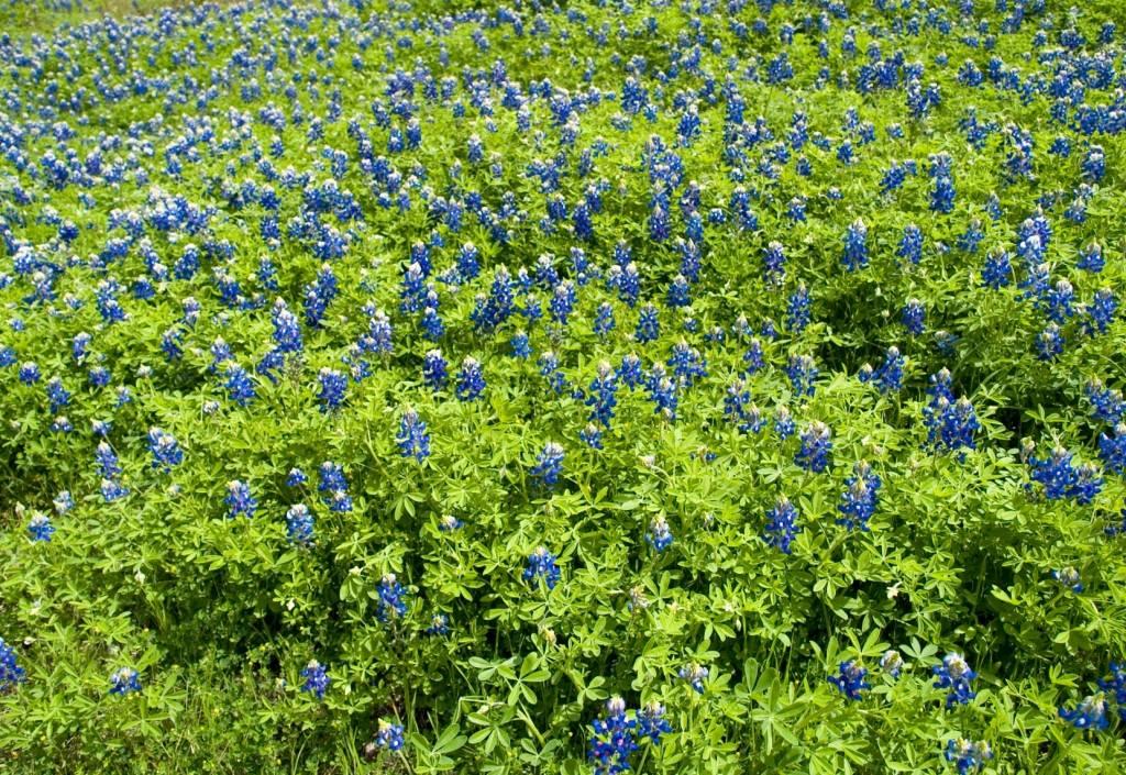 Dürr Samen Gründüngung Düngelupinen blau 250 g