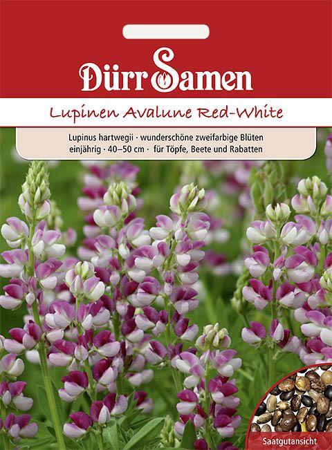 Dürr Samen Lupinen 'Avalune Red-White', einjährig, 40-50cm