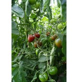 Saat & Gut BIO-Salattomate Paul Robson