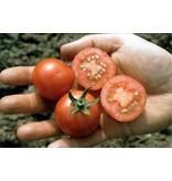 Saat & Gut BIO-Salattomate Matina