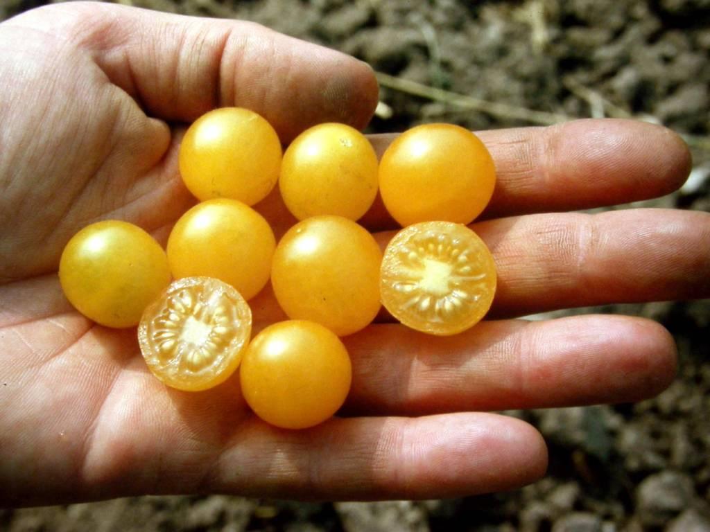 Saat & Gut BIO-Wildtomate Golden Currant