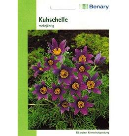 Benary Kuhschelle Mehrjährig