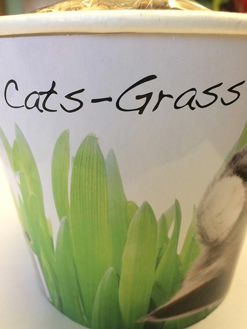 Saat & Gut Katzengras  im Anzuchtbecher