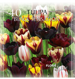 Tulpenkollektion - Black Sensation