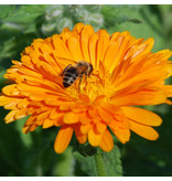 Saat & Gut BIO-Ringelblume orange