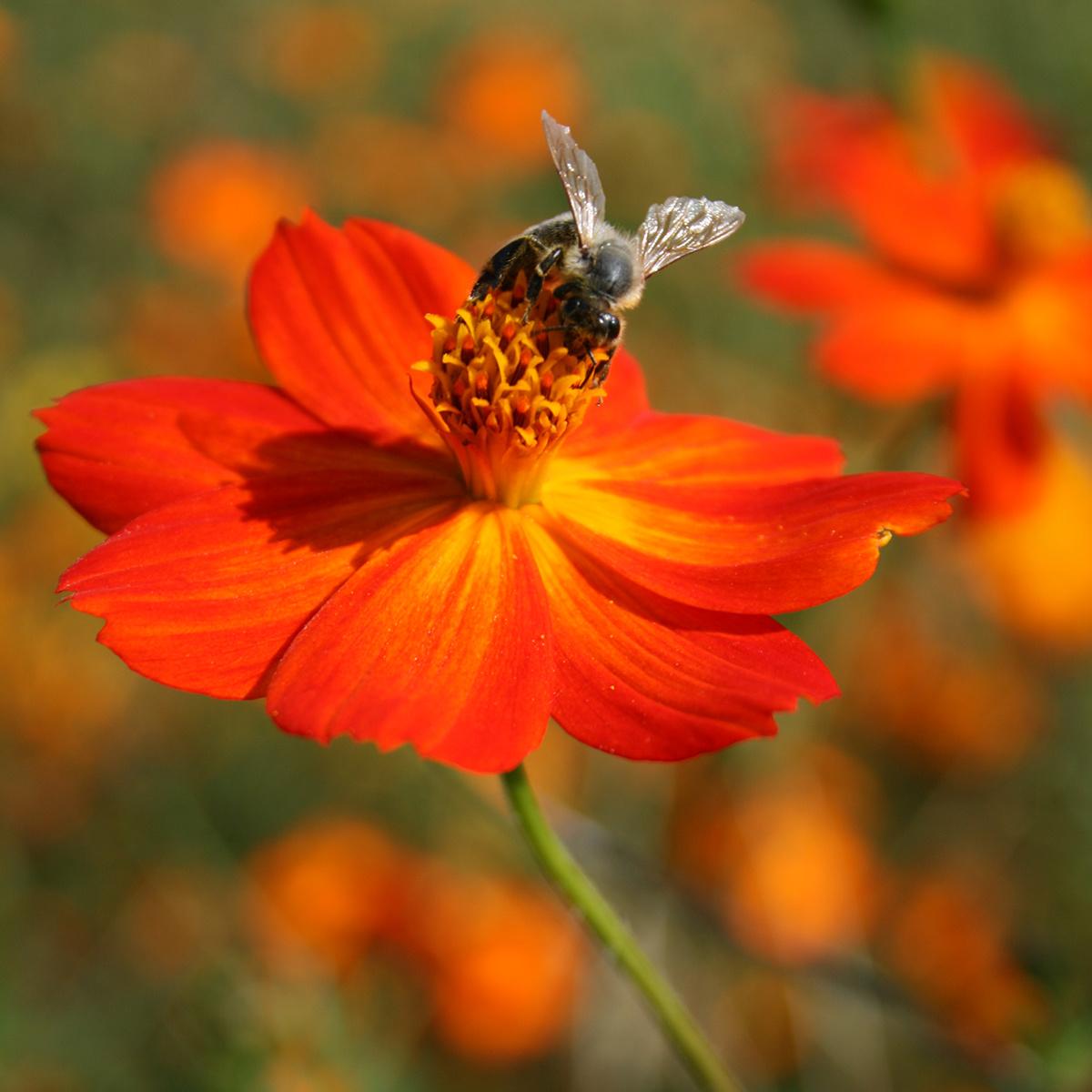 Saat & Gut BIO-Cosmea orange