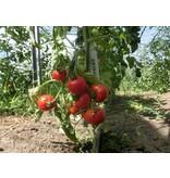 Saat & Gut BIO-Tomate Harzfeuer