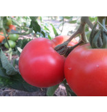 Saat & Gut BIO-Tomate Harzer Kind
