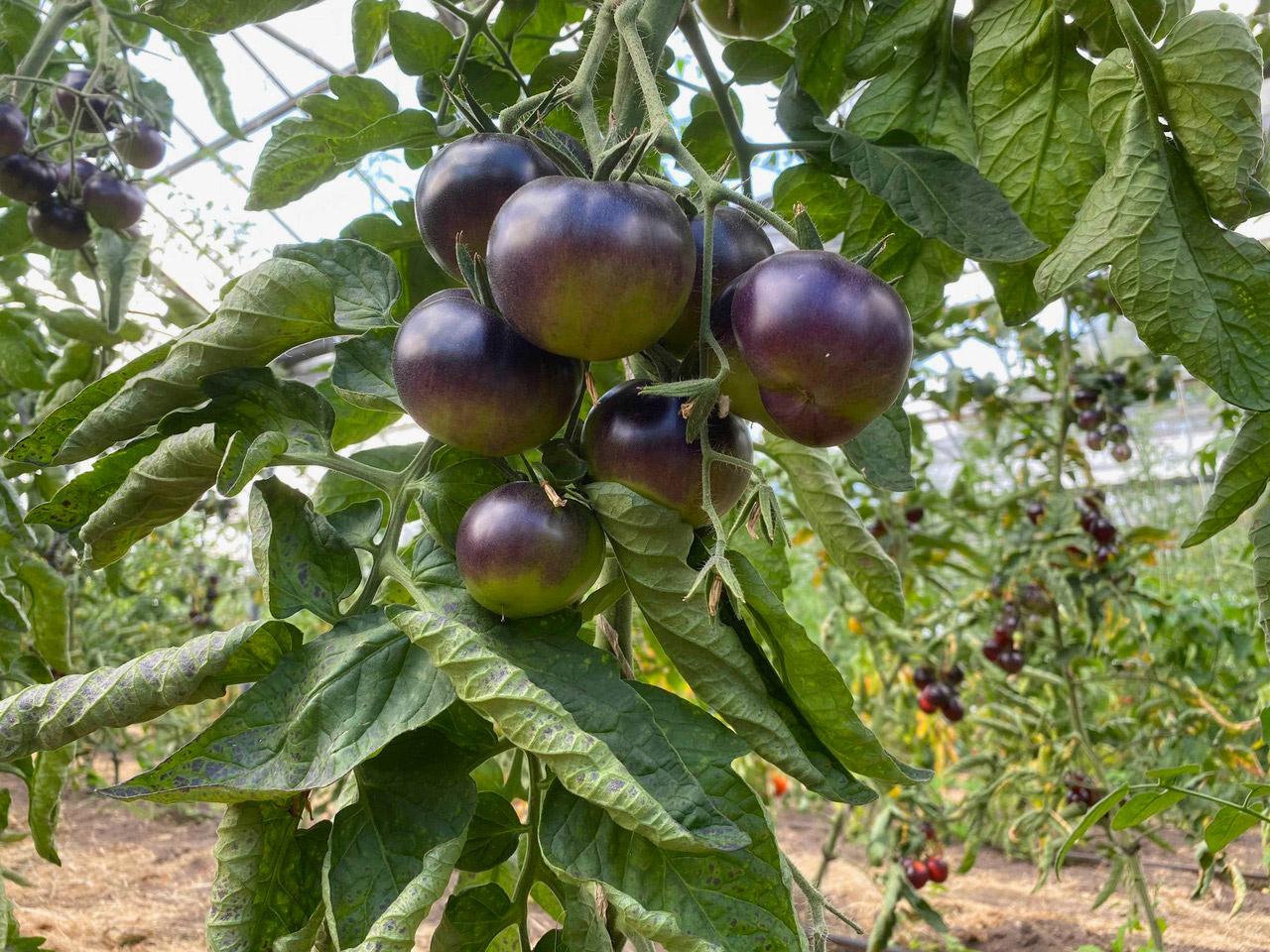 Saat & Gut BIO-Tomate Märchenwald