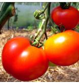 Saat & Gut BIO-Tomate Moneymaker