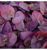 Saat & Gut BIO-Rote Gartenmelde
