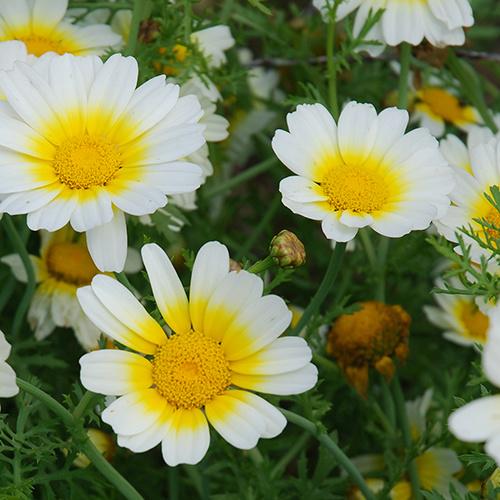 Saat & Gut BIO-Speisechrysantheme